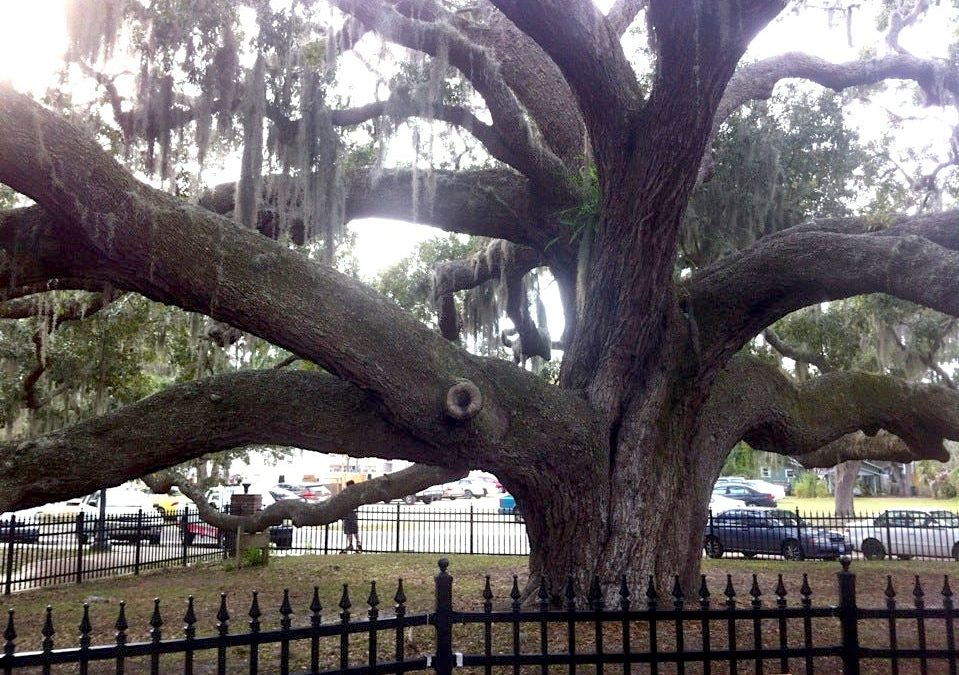 Visit the Famous Historic Baranoff Live Oak in Safety Harbor 959x675 - Visit the Famous Historic Baranoff Live Oak in Safety Harbor