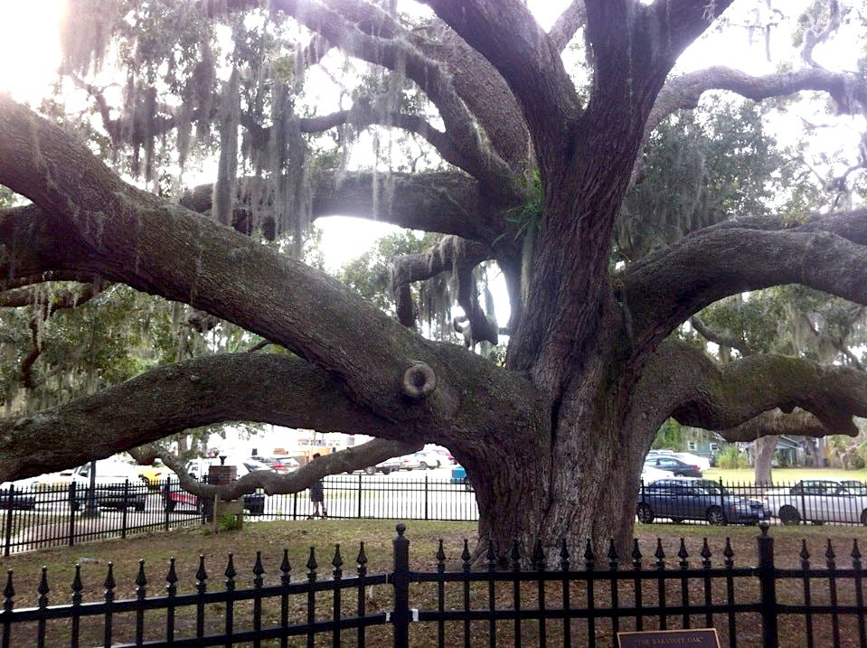 Visit the Famous Historic Baranoff Live Oak in Safety Harbor - Visit the Famous Historic Baranoff Live Oak in Safety Harbor