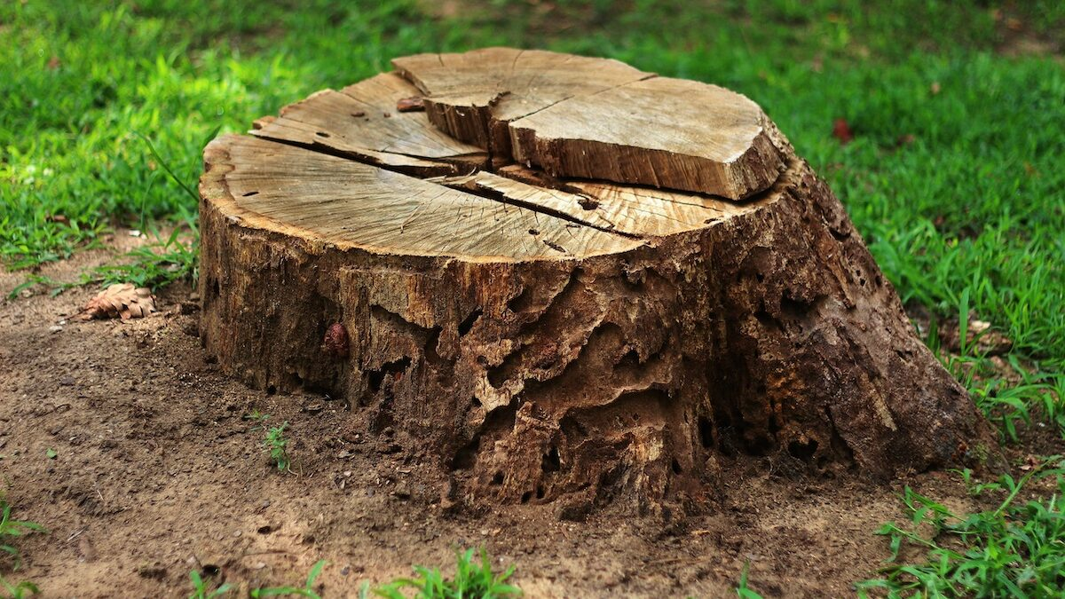 tree stump removal vs grinding 1200x675 - Tree Stump Removal vs Grinding