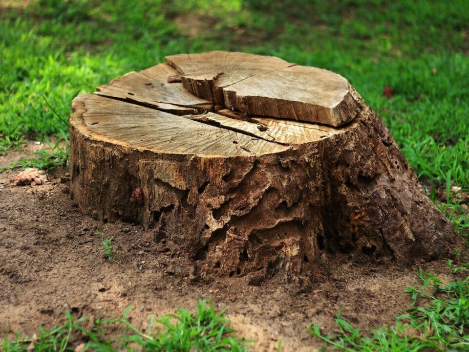 tree stump removal vs grinding 960x720 - Tree Stump Removal vs Grinding