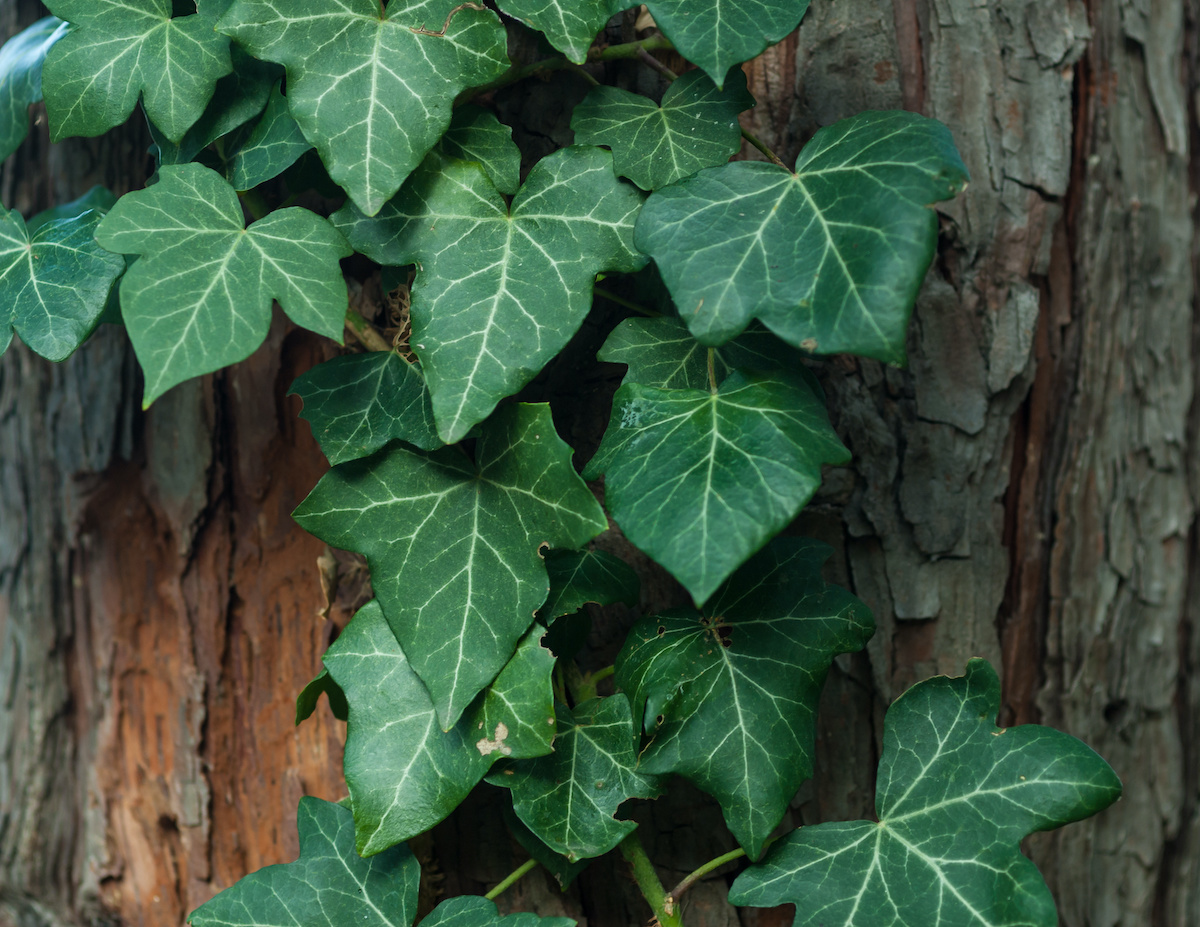 ivy growing on tree - 9 Signs of Poor Health in Trees