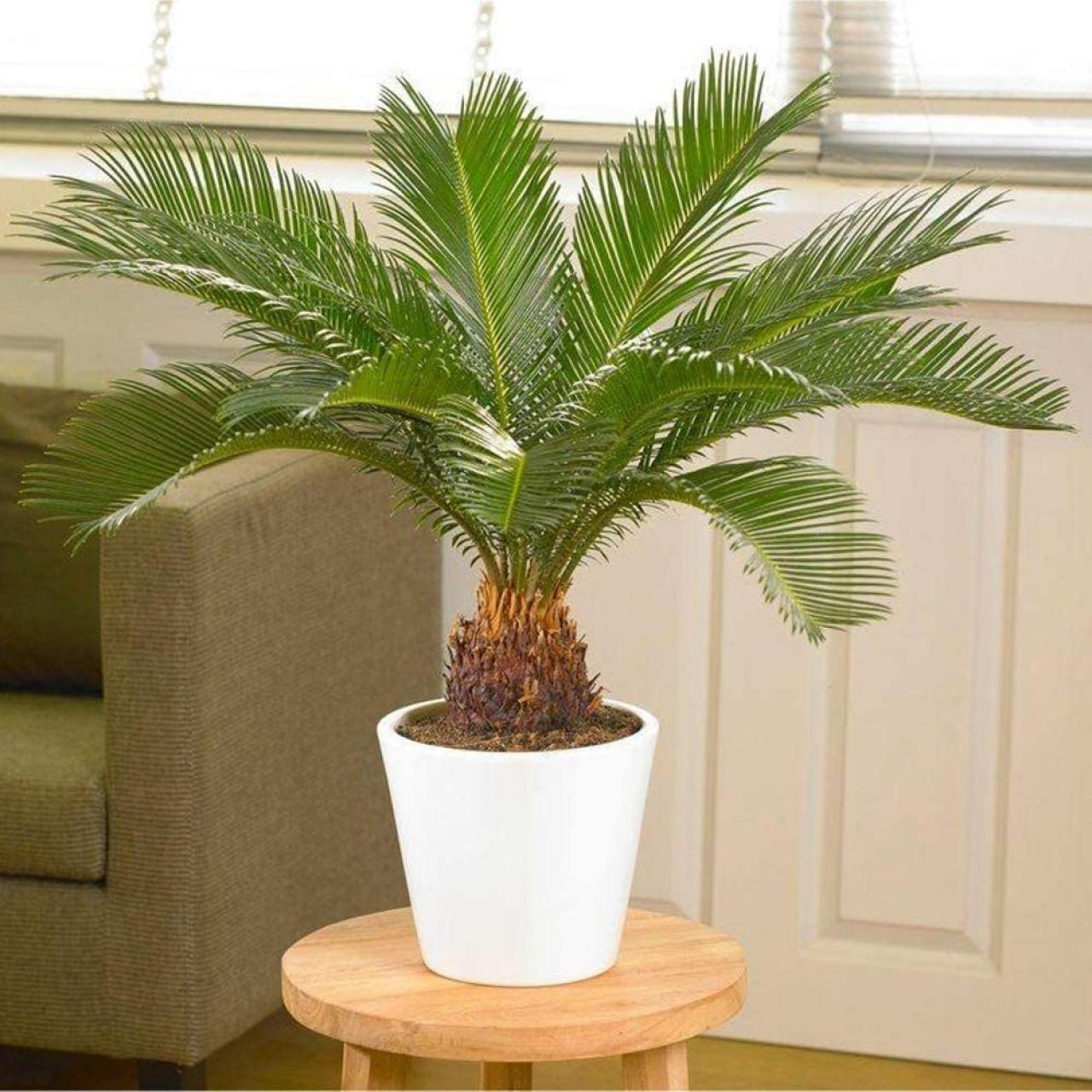 Sago Palm Small for Indoors - Florida Gardening Danger:  Poisonous Palm Trees