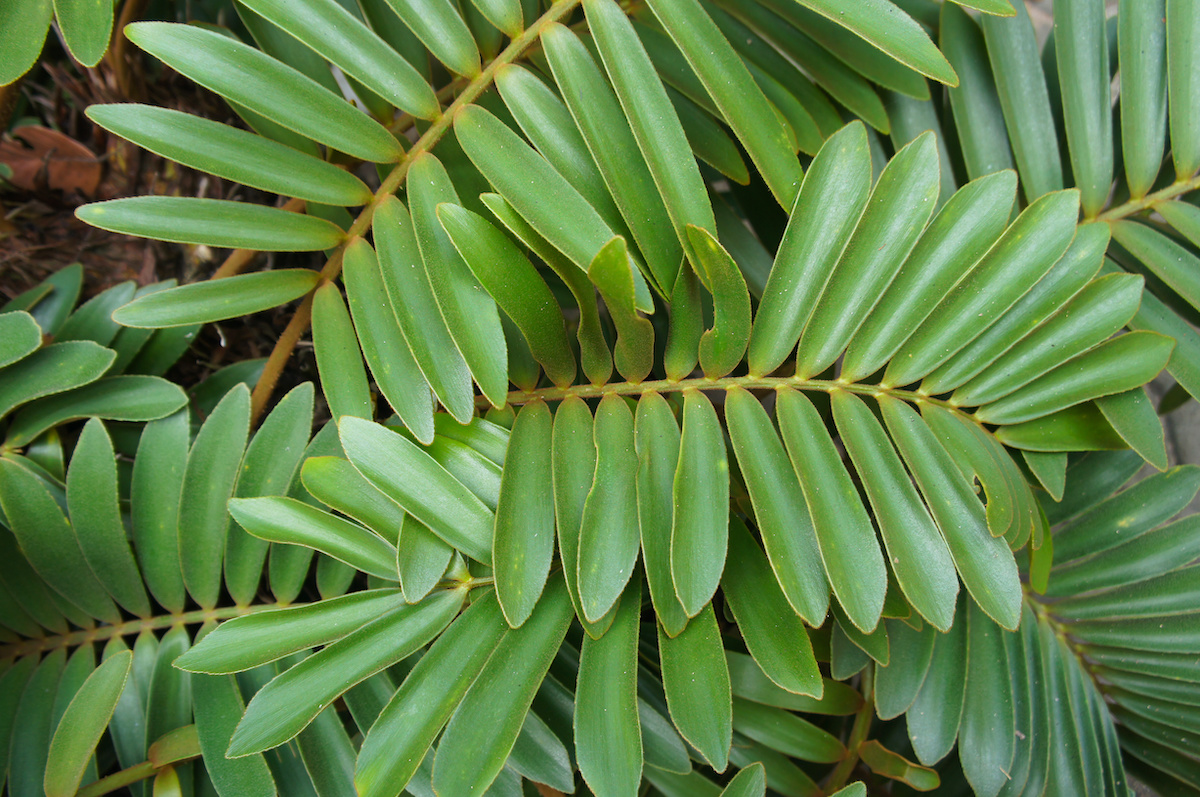 cardboard palm tree leaves close up - Florida Gardening Danger:  Poisonous Palm Trees