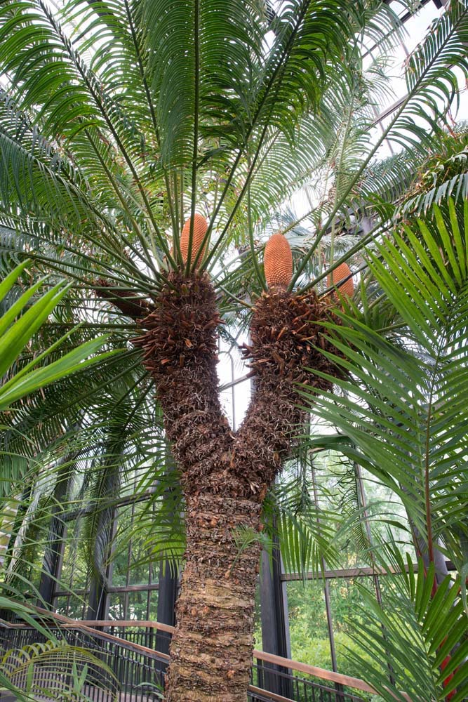 queen sago palm tree full - Florida Gardening Danger:  Poisonous Palm Trees