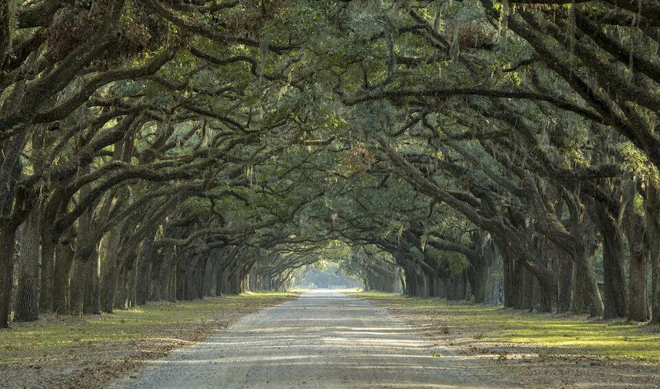 Florida Oak Tree Canopy over pathway 960x566 - Majestic Florida Oak Tree Care