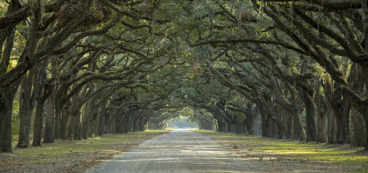 Florida Oak Tree Canopy over pathway - Majestic Florida Oak Tree Care