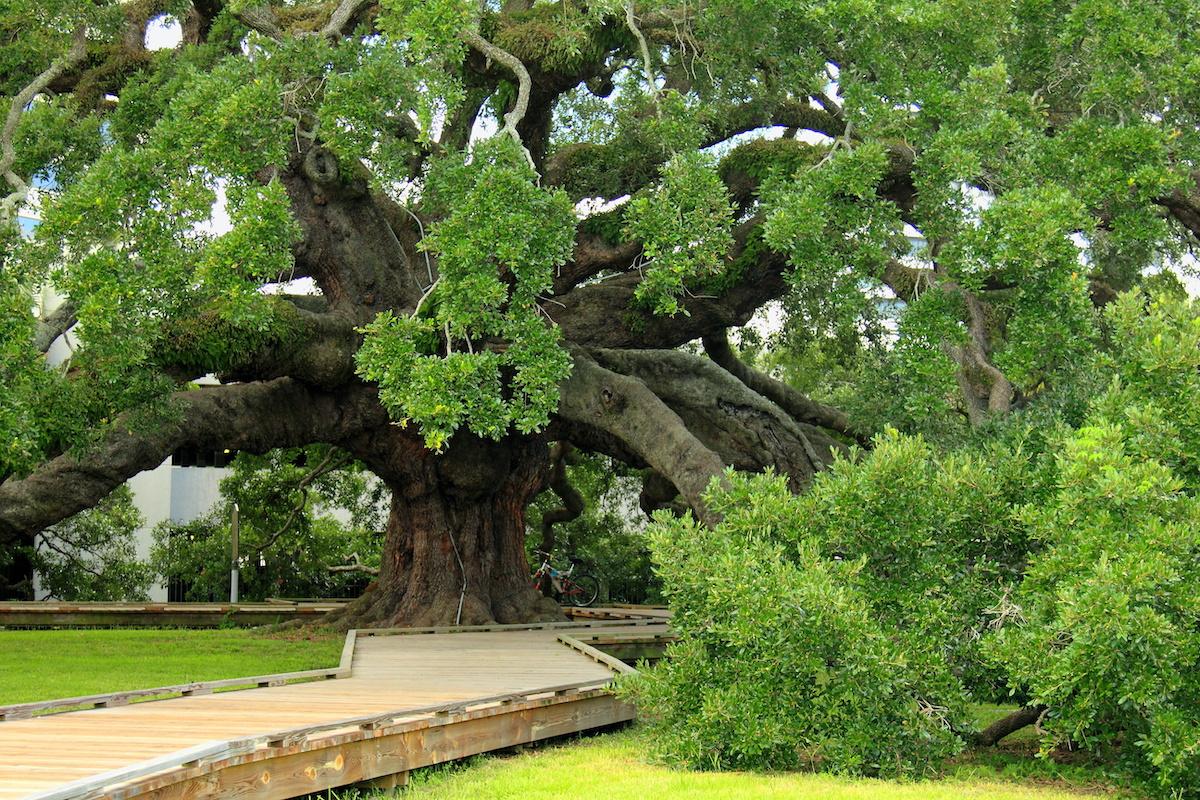 Large Florida Oak Tree with walkpath - Majestic Florida Oak Tree Care