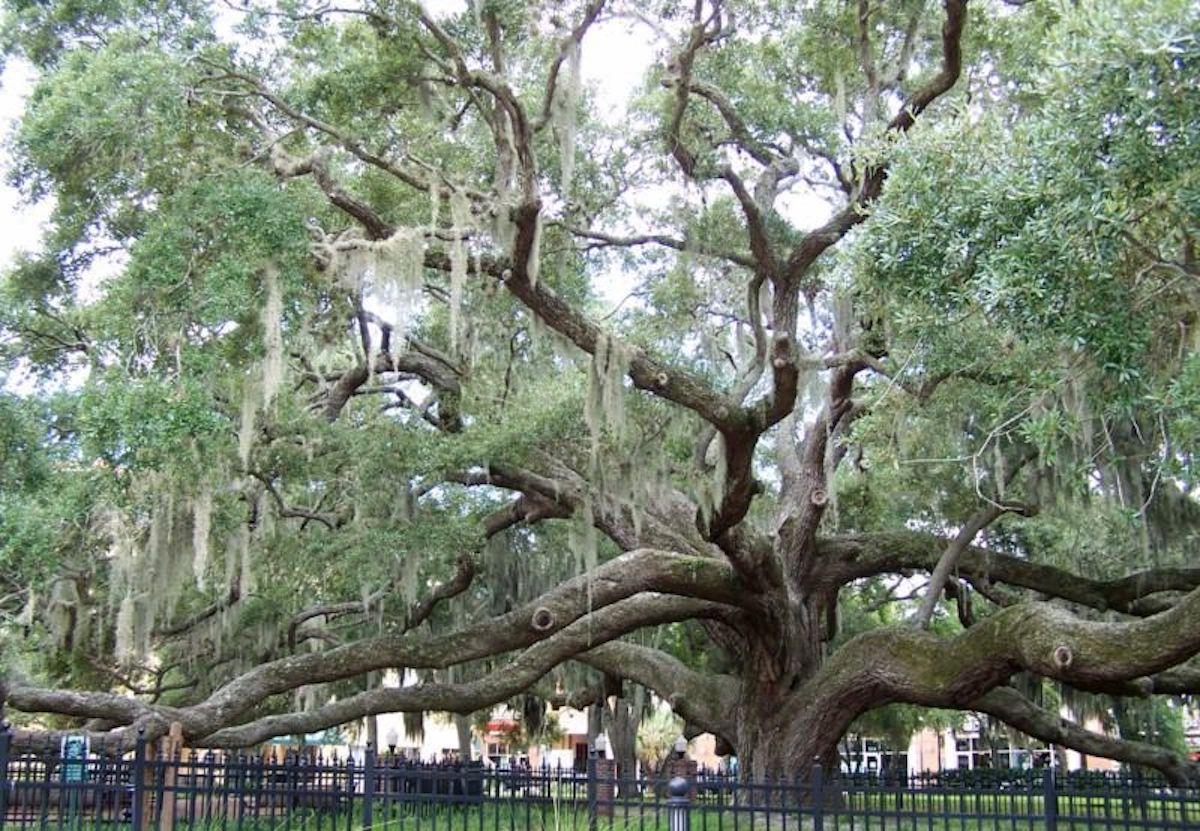 Safety Harbor Florida Oak Tree - Majestic Florida Oak Tree Care