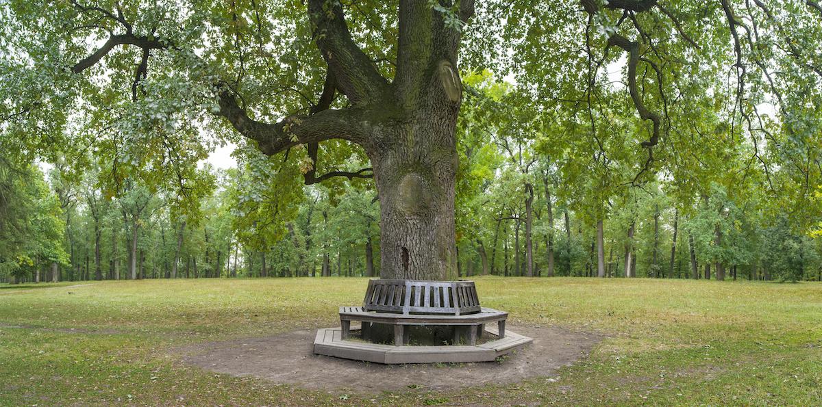 Wooden Bench with drainage around Florida Oak Tree trunk - Majestic Florida Oak Tree Care