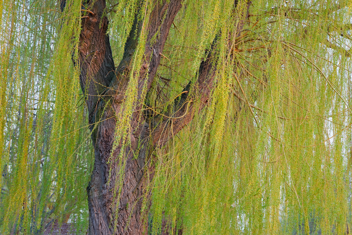 eveyrthingyoueneedtoknowaboutweepingwillowsinflorida - Everything You Need to Know About Weeping Willow Trees in Florida