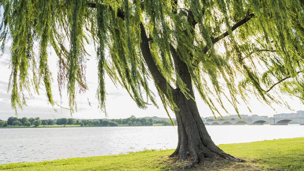 weeping willow trees in florida