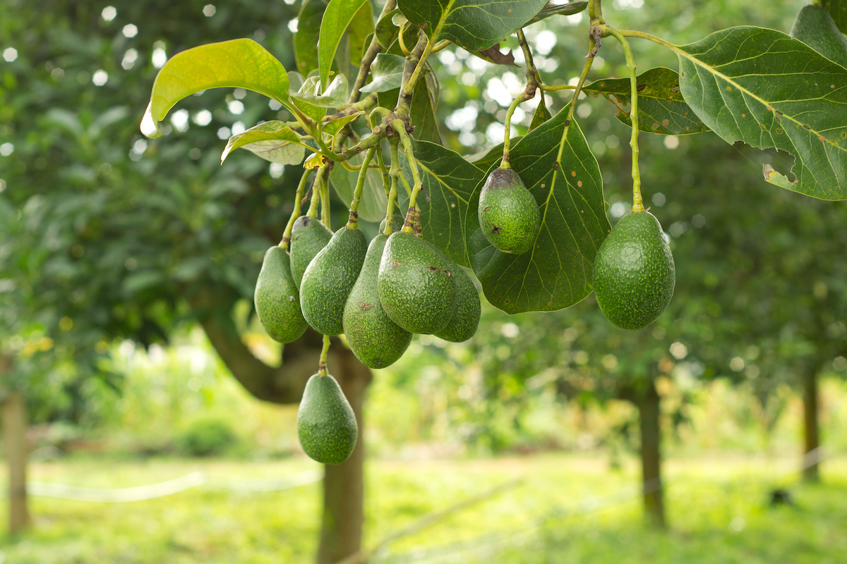 fruittreesinflorida - The Guide to Fruit Trees in Florida