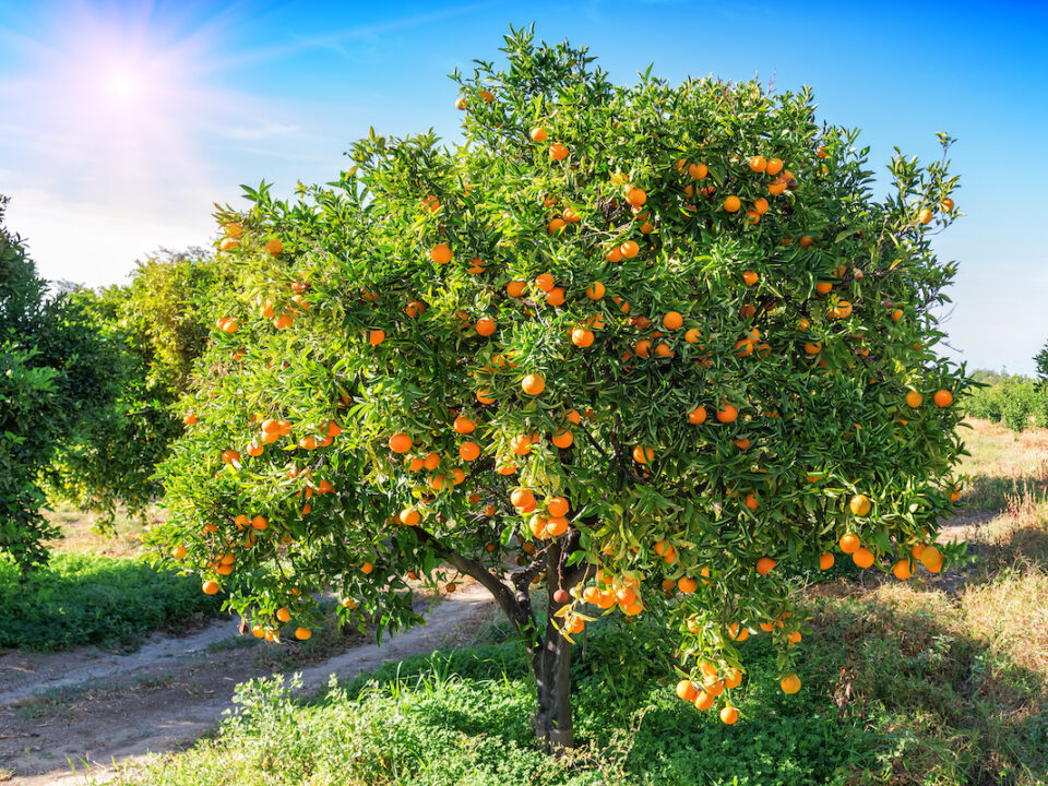 fruit trees in florida